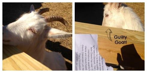 Goat Belle Chevre Collage.jpg