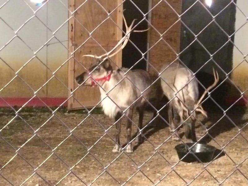 Live reindeer live at Santa Land.