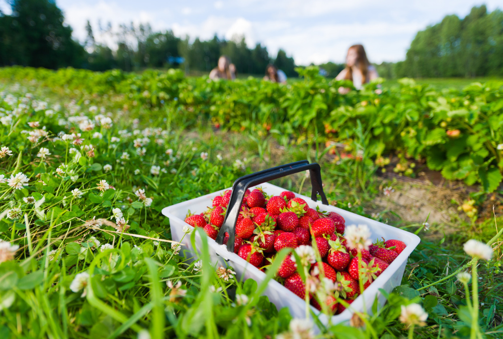 Let's Go Strawberry Picking in North Alabama!